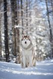 Beautiful and free Siberian Husky dog sitting on the snow path in the fairy winter forest at sunset. Portrait of beautiful, happy and free Siberian Husky dog royalty free stock photo
