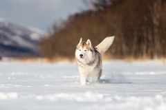 Beautiful, happy and funny beige and white dog breed siberian husky running on the snow in the winter field. Portrait of Beautiful, happy and funny beige and stock photography