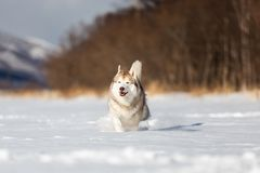 Beautiful, happy and funny beige and white dog breed siberian husky running on the snow in the winter field. Portrait of Beautiful, happy and funny beige and royalty free stock photos