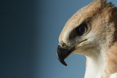 Portrait of a beautiful hawk Royalty Free Stock Photography
