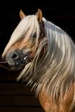 Portrait of beautiful horse on black background Royalty Free Stock Photography