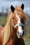 Portrait of a beautiful horse Royalty Free Stock Photography