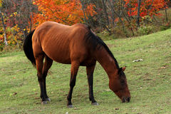Portrait of beautiful horse. Brown or chestnut horse grazing in a farm field or pasture on a fall day royalty free stock images