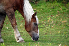 Portrait of beautiful horse. Brown or chestnut horse grazing in a farm field or pasture on a fall day stock photo