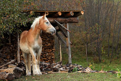 Portrait of beautiful horse. Brown or chestnut horse grazing in a farm field or pasture on a fall day Stock Photos
