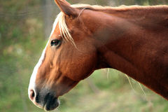 Portrait of beautiful horse. Brown or chestnut horse grazing in a farm field or pasture on a fall day Royalty Free Stock Photography