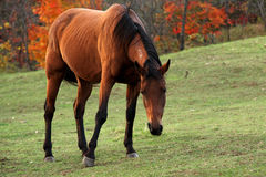 Portrait of beautiful horse. Brown or chestnut horse grazing in a farm field or pasture on a fall day stock image