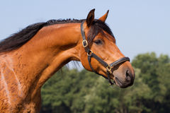 Portrait of a beautiful horse. Portrait of a beautiful brown KWPN horse Royalty Free Stock Photography