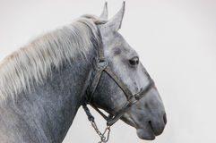 Portrait of beautiful horse Royalty Free Stock Images
