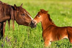 Portrait of a beautiful horse foal with mother stock image