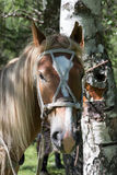 Portrait of a beautiful horse with long hair and white spot on the forehead.  Royalty Free Stock Image