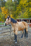 Portrait of beautiful horse in paddock Royalty Free Stock Photos