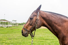 Portrait of beautiful horse with rope halter Royalty Free Stock Image
