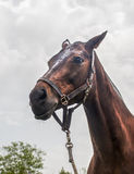 Portrait of beautiful horse with rope halter Stock Images