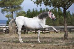 Stunning horse posing making Spanish step stock image