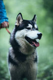 Portrait of a beautiful husky dog in forest Royalty Free Stock Photography