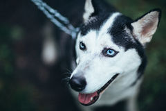 Portrait of a beautiful husky dog in forest Royalty Free Stock Photos