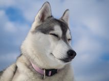 Portrait of a beautiful Husky dog Royalty Free Stock Photography