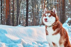 Portrait beautiful husky dog on walk in winter forest. Red siberian husky is sitting on background of snowy forest. Copy space. stock image