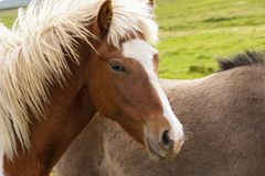 A portrait of a beautiful Icelandic horse in the field in northern Iceland royalty free stock photography