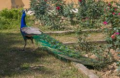 Portrait of beautiful Indian wild peacock, Pavo cristatus Royalty Free Stock Images