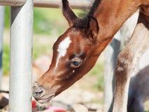 Portrait of beautiful inquisitive arabian foal. Israel Stock Photo