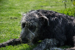 Portrait of beautiful Irish wolfhound dog posing in the garden. Dog lying in grass Royalty Free Stock Image