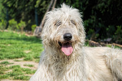 Portrait of beautiful Irish wolfhound dog posing in the garden. Dog lying in grass Royalty Free Stock Images