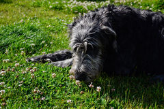 Portrait of beautiful Irish wolfhound dog posing in the garden. Dog lying in grass Royalty Free Stock Photography
