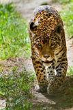 Portrait of beautiful jaguar walking Royalty Free Stock Images
