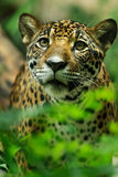 Portrait of Beautiful Jaguar Stock Images