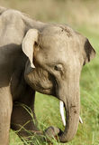 Portrait of beautiful Juvenile tusker Royalty Free Stock Images