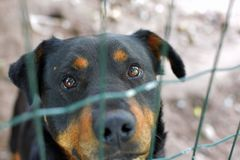 Portrait of sad rottweiler behind fence royalty free stock photo