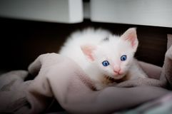 Portrait of a beautiful kitty Siamese cat, White colour, blue eyes, Beautiful close up, Beautiful cat at home. cute funny playing. Portrait of a beautiful kitty stock images