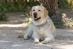 Portrait of a beautiful Labrador dog. Royalty Free Stock Photo