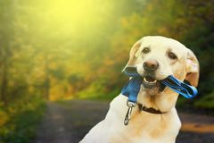 Portrait of a beautiful labrador up close. Autumn landscapes and sunset in the background. royalty free stock photography