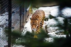 Portrait of a beautiful leopard stock photos