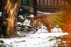 Portrait of a beautiful leopard stock image