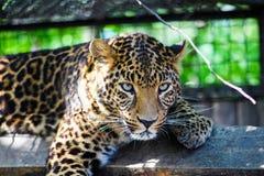 Portrait of a beautiful leopard stock images