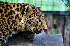 Portrait of a beautiful leopard stock photography