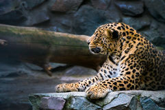 portrait of a beautiful leopard royalty free stock photo