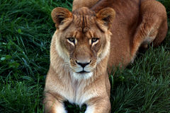 Portrait of beautiful lion. Female lion in a zoo stock photography