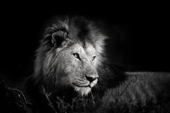 Portrait of a beautiful Lion from the four Musketeers in Masai Mara Royalty Free Stock Photos