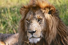 portrait of a beautiful lion at the masai mara Royalty Free Stock Photo