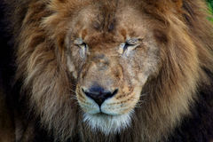 Portrait of beautiful lion. Lion trying to sleep in a zoo stock photos
