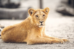 Portrait of beautiful lioness Stock Photo