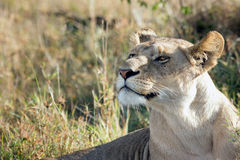 Portrait of a beautiful lioness proudly lying in the African savannah Royalty Free Stock Photography