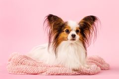 Portrait of a beautiful little dog on a pink background