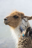 Portrait of beautiful Llama, Argentina Stock Photography