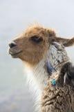 Portrait of beautiful Llama, Argentina Stock Photography
